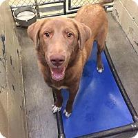 Adopt A Pet :: Toffee - Uxbridge, MA