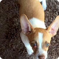 Terrier (Unknown Type, Small)/Chihuahua Mix Puppy for adoption in Sun Valley, California - Butch