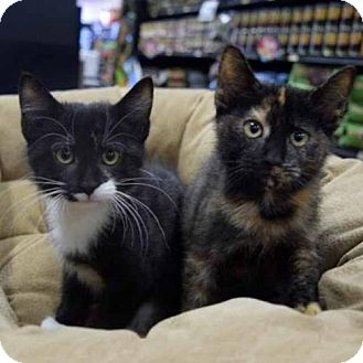 Domestic Shorthair Kitten for adoption in Arlington, Virginia - Anastasia and Christian