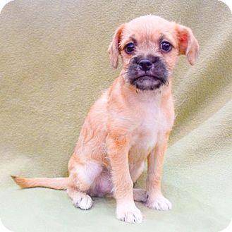 Shih Tzu/Maltese Mix Puppy for adoption in Sacramento, California - Snickers