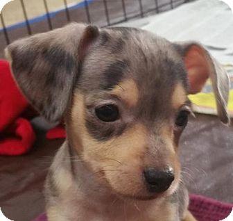 Dachshund/Chihuahua Mix Puppy for adoption in Stockton, California - Gigi