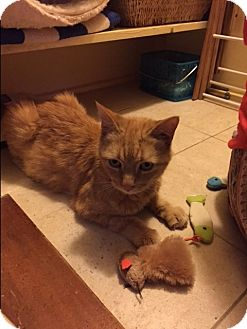 Domestic Mediumhair Cat for adoption in bath, Maine - GINGER