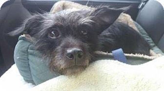 Schnauzer (Miniature)/Terrier (Unknown Type, Small) Mix Dog for adoption in Trenton, New Jersey - Luna