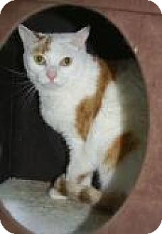 Domestic Shorthair Cat for adoption in Englewood, Florida - Sophie