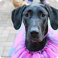 Adopt A Pet :: Raven - Washington, DC
