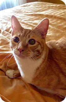 Domestic Shorthair Kitten for adoption in Royal Palm Beach, Florida - Mandela