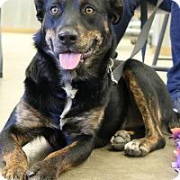 Rottweiler/Labrador Retriever Mix Dog for adoption in Champaign, Illinois - Susan