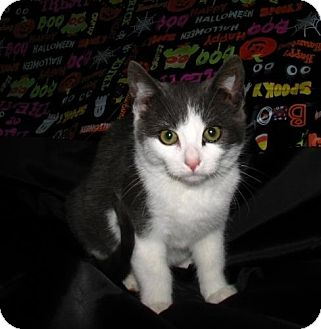 Domestic Shorthair Kitten for adoption in Norwich, New York - Luke