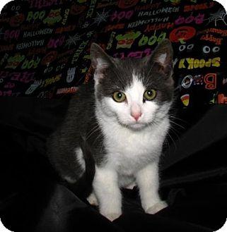 Domestic Shorthair Kitten for adoption in Oxford, New York - Luke