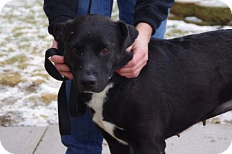 Labrador Retriever Mix Dog for adoption in Elyria, Ohio - Gracie-Prison Dog