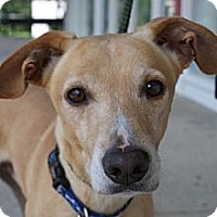 Adopt A Pet :: Topaz II - Rockaway, NJ