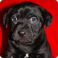 Adopt A Pet :: Chase - Austin, TX