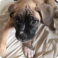 Adopt A Pet :: Melon - Waldorf, MD