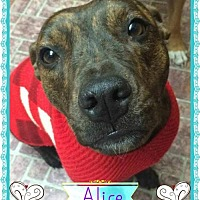 Adopt A Pet :: Alice - Kenmore, NY