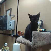 Domestic Shorthair Kitten for adoption in Palm Springs, California - Denzel