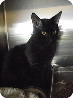 Domestic Mediumhair Cat for adoption in Chambersburg, Pennsylvania - Eightball