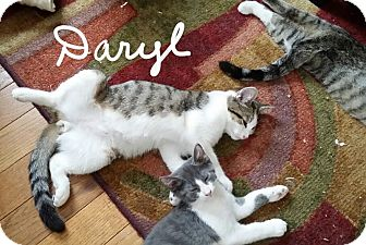 Domestic Shorthair Kitten for adoption in Middletown, Ohio - Daryl