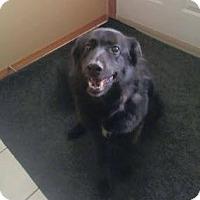 German Shepherd Dog/Labrador Retriever Mix Dog for adoption in milk river, Alberta - Maggie