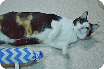 Calico Cat for adoption in Evansville, Indiana - Montana