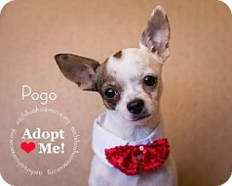 Chihuahua Mix Dog for adoption in Mesa, Arizona - Pogo