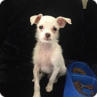 Terrier (Unknown Type, Medium) Mix Puppy for adoption in Modesto, California - Nugget
