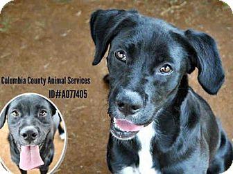 Labrador Retriever Mix Dog for adoption in Grovetown, Georgia - A077405