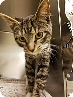 Domestic Shorthair Cat for adoption in Windsor, Virginia - Donald
