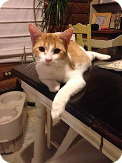 Domestic Shorthair Cat for adoption in Troy, Illinois - Arlo Fostered (Jamie H)