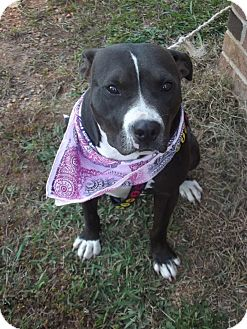 Pit Bull Terrier Mix Dog for adoption in Albemarle, North Carolina - Bella