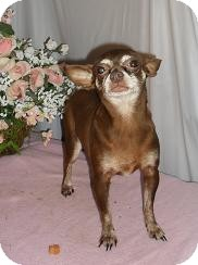 Chihuahua Dog for adoption in Chandlersville, Ohio - Kisses