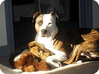 American Staffordshire Terrier Mix Dog for adoption in kennebunkport, Maine - Daisy - in Maine