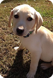 Beagle/Dachshund Mix Puppy for adoption in Richmond, Virginia - Sugar