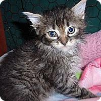 Adopt A Pet :: Big Boy - East Brunswick, NJ