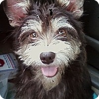 Adopt A Pet :: Scruffy O'Toole - Ball Ground, GA