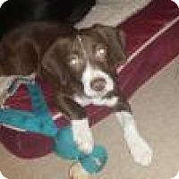 Adopt A Pet :: Pedro - Joliet, IL