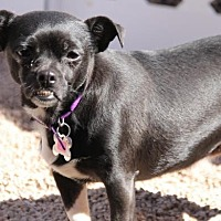 Chihuahua Mix Dog for adoption in Phoenix, Arizona - Ava