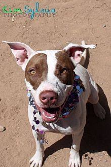 Pointer/Staffordshire Bull Terrier Mix Dog for adoption in Chandler, Arizona - PENNY