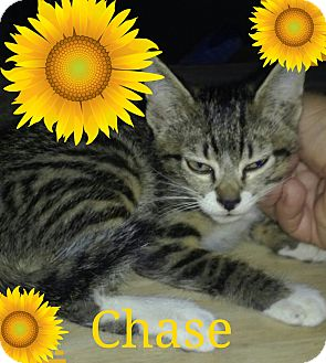 Domestic Shorthair Kitten for adoption in Clearwater, FL, California - Chase