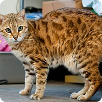 Adopt A Pet :: Jasmine - Santa Rosa, CA