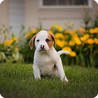 Adopt A Pet :: Zayn - West Chicago, IL