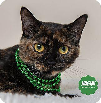 Domestic Shorthair Cat for adoption in Wyandotte, Michigan - Nagini