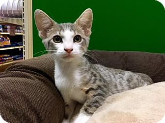 Domestic Shorthair Cat for adoption in Long Beach, California - Set