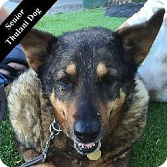 German Shepherd Dog Mix Dog for adoption in Cupertino, California - Theresa T.