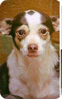 Chihuahua Dog for adoption in Boca Raton, Florida - Chloe