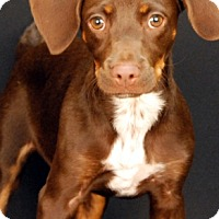 Adopt A Pet :: Brownie - Newland, NC
