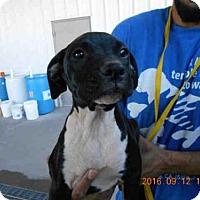 Adopt A Pet :: A570684 - Oroville, CA