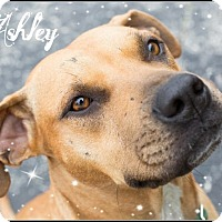 Pit Bull Terrier/Black Mouth Cur Mix Dog for adoption in Seattle, Washington - Ashley