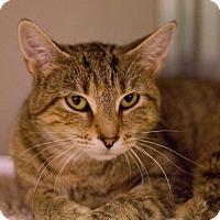 Domestic Shorthair Cat for adoption in Grayslake, Illinois - Araceli