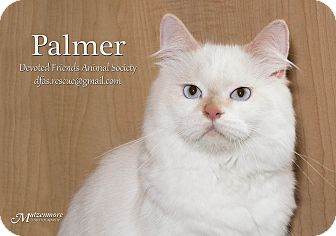 Himalayan Cat for adoption in Ortonville, Michigan - Palmer