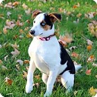 Rat Terrier Mix Puppy for adoption in richmond, Virginia - PUPPY ADORABLE NORA